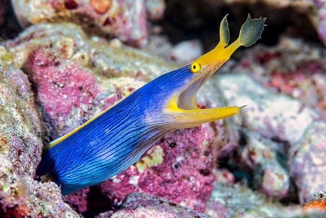 Ribbon eel, male - Rhinomuraena quaesita