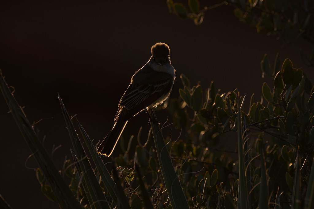 An ash-throated flycatcher is backlit by the rising sun in the Troon neighborhood of Scottsdale, Arizona in April 2020