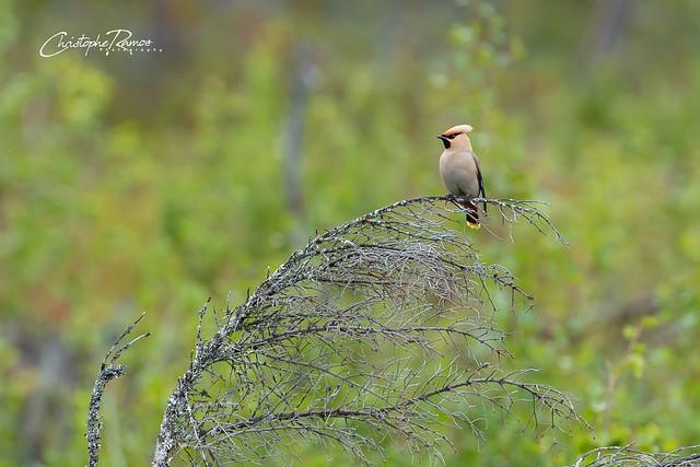 Jaseur boréal - Bombycilla garrulus (Parc national du Sareks, Suède) 13 août 2019