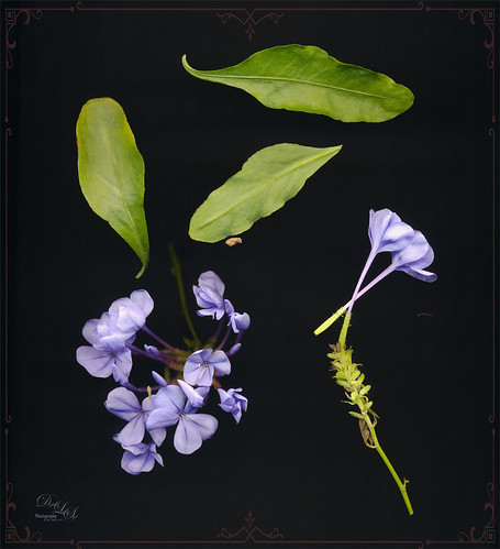 Image of Plumbago flowers taken in a black box and scanned