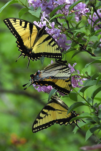 DSCN5808 Eastern Tiger Swallowtails