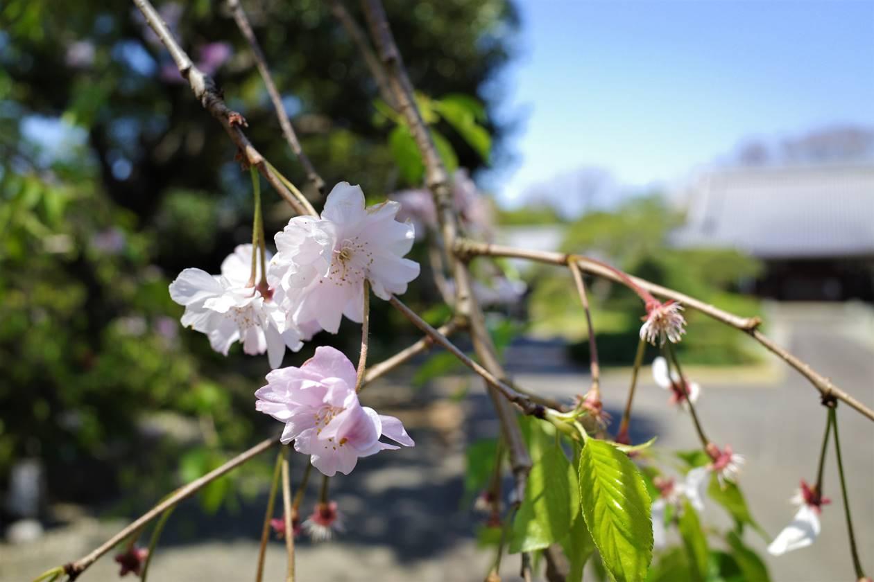 真盛寺境内の桜