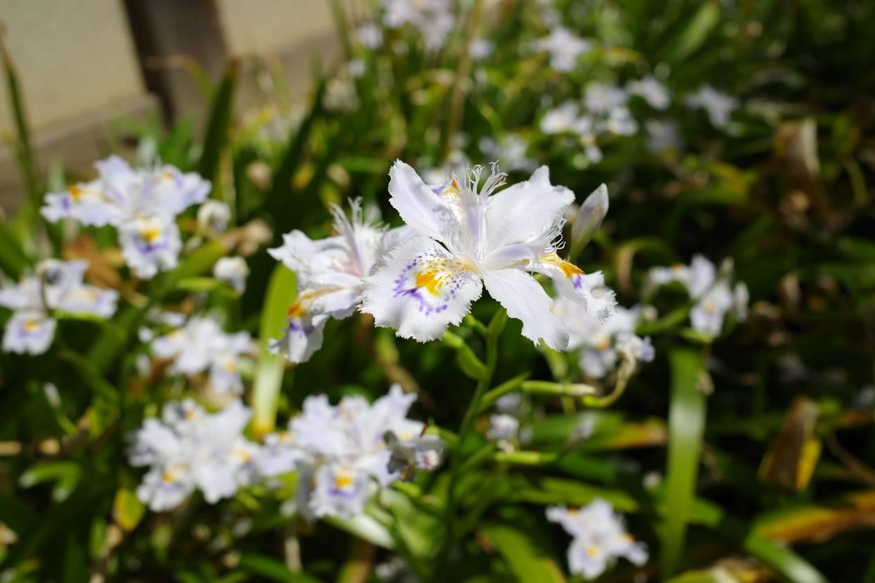 真盛寺のシャガの花