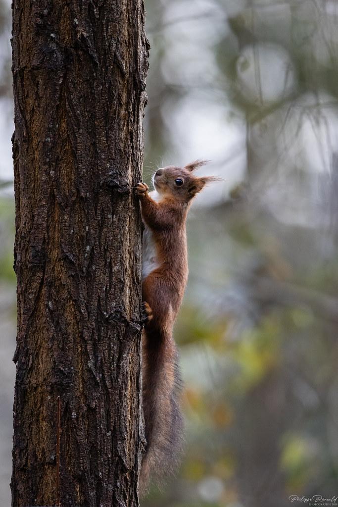 Écureuil roux femelle