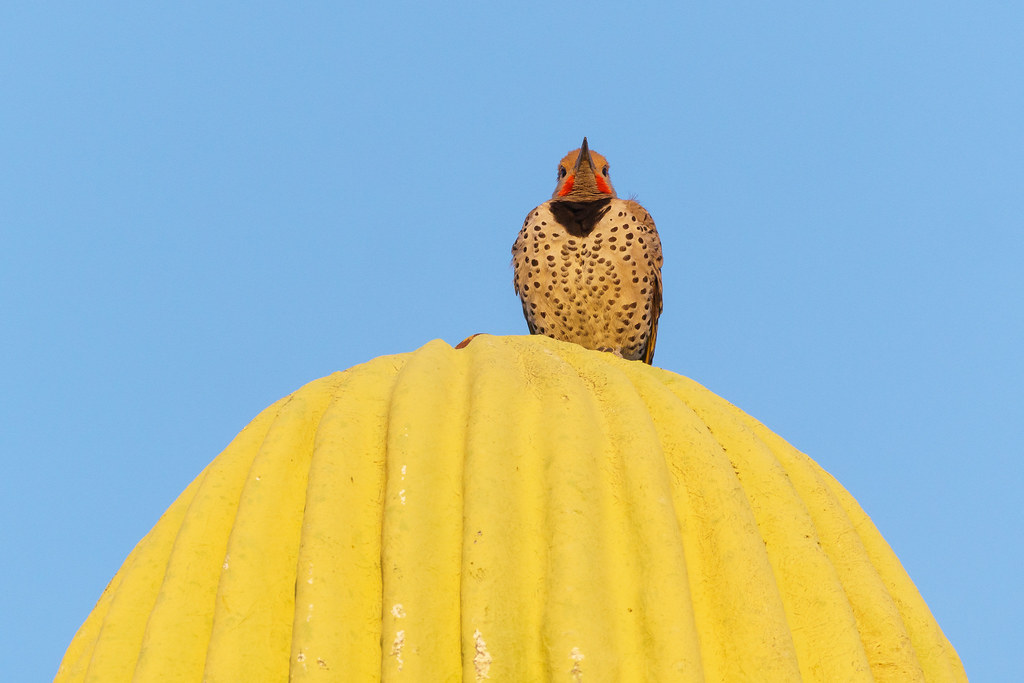 A male gilded flicker looks straight ahead while perched atop a cell tower disguised as a saguaro in the Troon neighborhood of Scottsdale, Arizona in April 2020