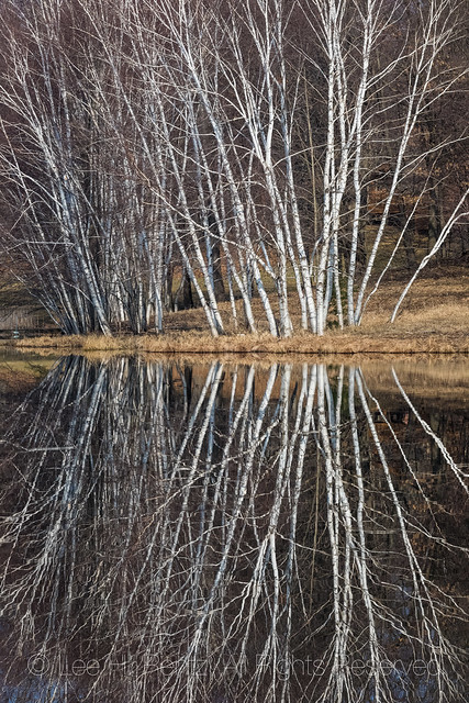 Birch Trees in Michigan's Lower Peninsula