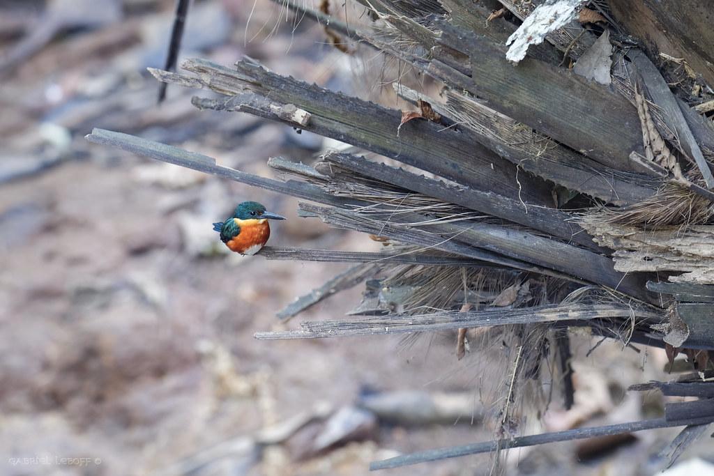 American Pygmy Kingfisher Chloroceryle aenea - Martin-pêcheur nain  5136_DxO