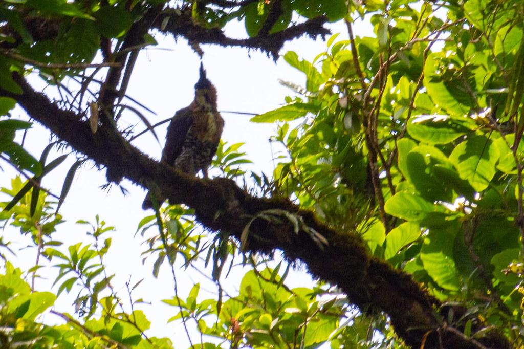 DSC_6773 Tapir Valley - Ornate Hawk-Eagle