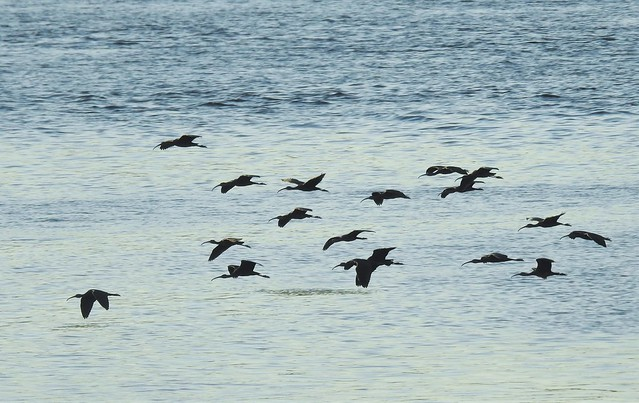 Glossy Ibises In Flight - River Nile
