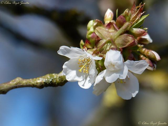 Cet après midi j'ai vu un cerisier en fleurs, le Printemps est là