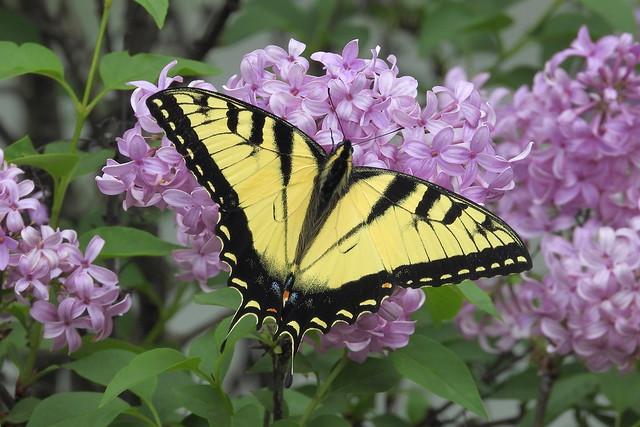 DSCN5827 Eastern Tiger Swallowtail