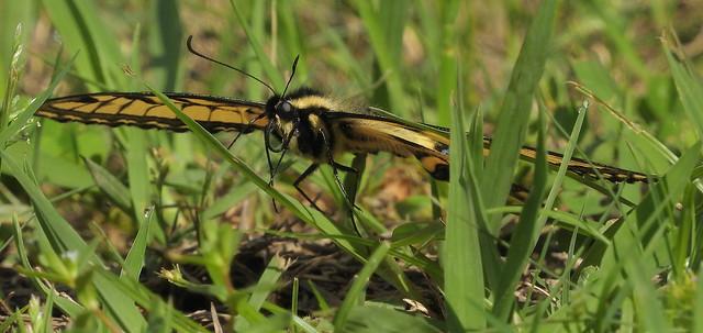 DSCN5713 Eastern Tiger Swallowtail