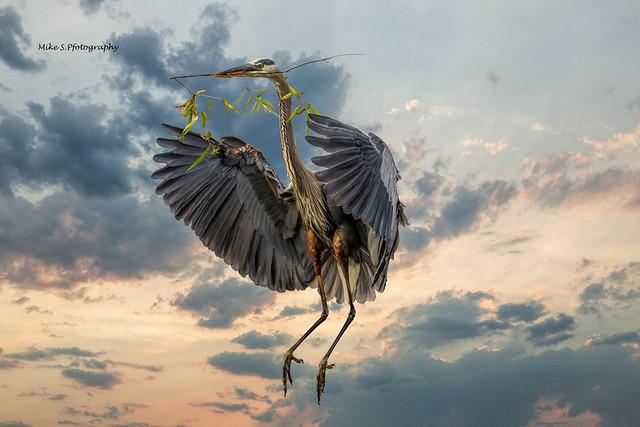 Great Blue Heron flight