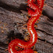 Soil Centipede (Strigamia bothriopus)