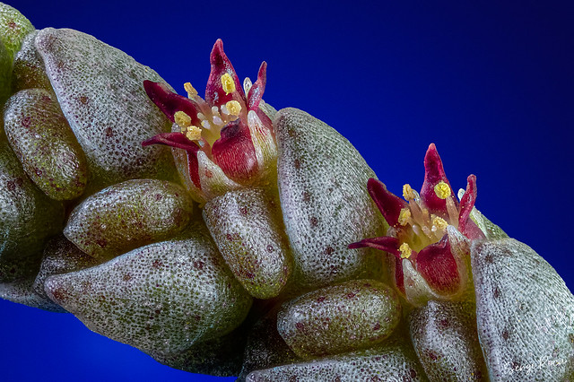 Crassula mucosa variegata en flor (Crassula lycopodioides)