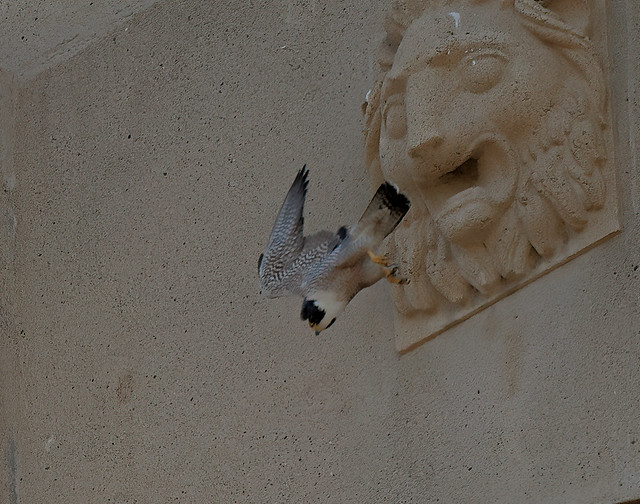 peregrine falcon leaps off the Hoover Tower, passing one of the lion gargoyles on the way down