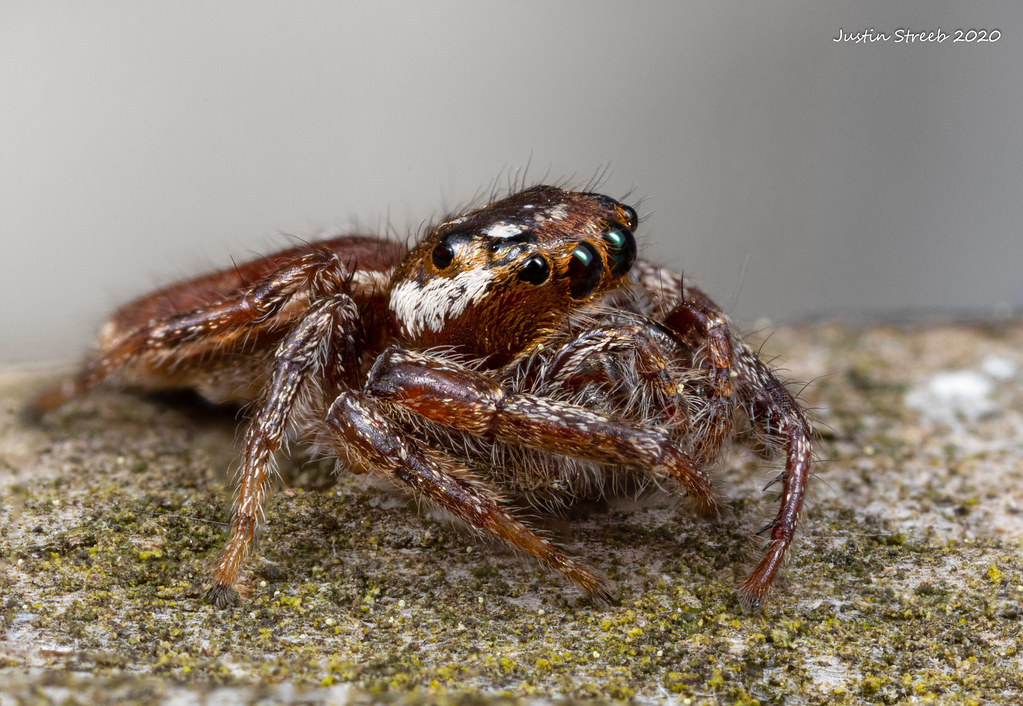 Immature Jumping Spider