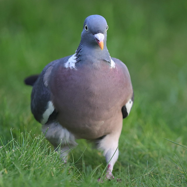Woodpigeon on the lawn