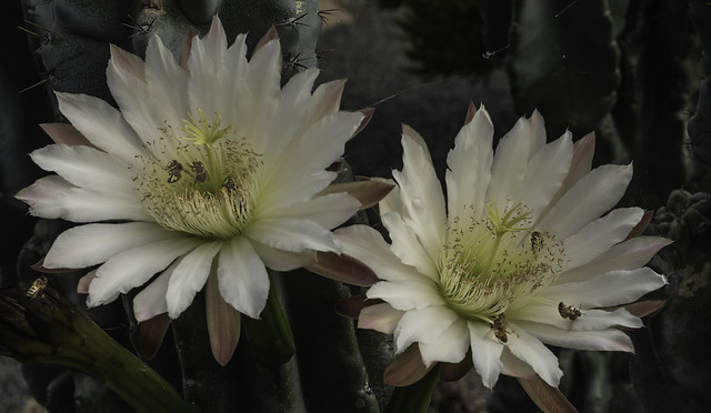 Night Blooming Cactus Flowers And The Pollinators That Love them
