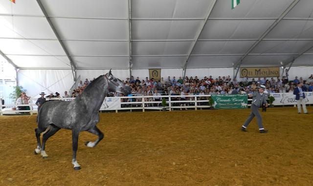 exhibicion de caballo gris con jinete desmontado espectaculo Carmelo Cuevas Parque González Hontoria Feria del Caballo 2014 Jerez de la Frontera Cadiz 04