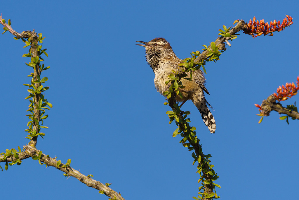 A cactus wren sings from a blooming and leafing ocotillo in the Troon neighborhood of Scottsdale, Arizona in March 2020