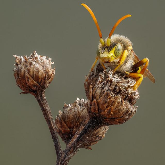 Nomad bee