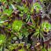 Aeonium arboreum, 3.27.20