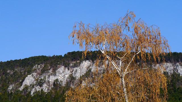 Birkenblütezeit   /   Birches blooming time