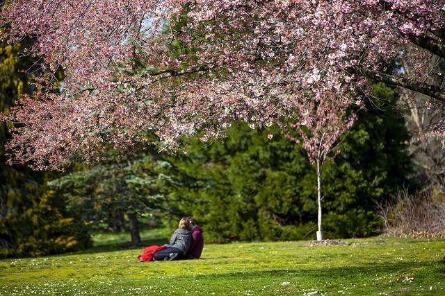 Cherry Blossoms @ Queen Elizabeth Park, April 4th,  2020