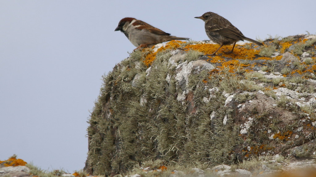Strange partners? House Sparrow and Rock Pipit