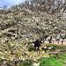 """<p><a href=""""https://www.flickr.com/people/paspog/"""">paspog</a> posted a photo:</p>  <p><a href=""""https://www.flickr.com/photos/paspog/49736782373/"""" title=""""111 - Mars 2020 - Paris - Jardin des Plantes, le pommier était presque totalement en fleurs juste avant le confinement""""><img src=""""https://live.staticflickr.com/65535/49736782373_efd3860088_m.jpg"""" width=""""240"""" height=""""114"""" alt=""""111 - Mars 2020 - Paris - Jardin des Plantes, le pommier était presque totalement en fleurs juste avant le confinement"""" /></a></p>"""