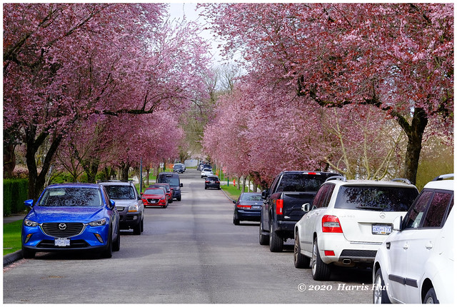 Street View With Cherry Blossoms - Kerrisdale XT8689e