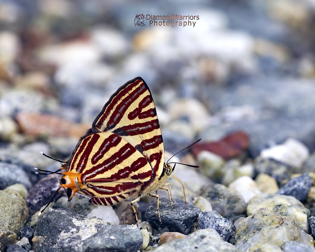 Cigaritis vulcanus - Common silverline