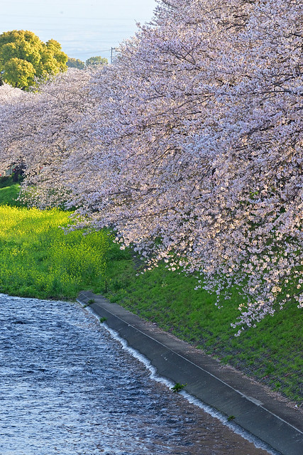 Cherry blossoms are in full bloom
