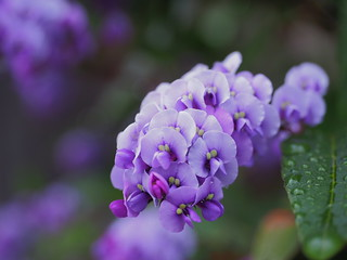 Hardenbergia violacea (vine lilac, ハーデンベルギア) | by Greg Peterson in Japan