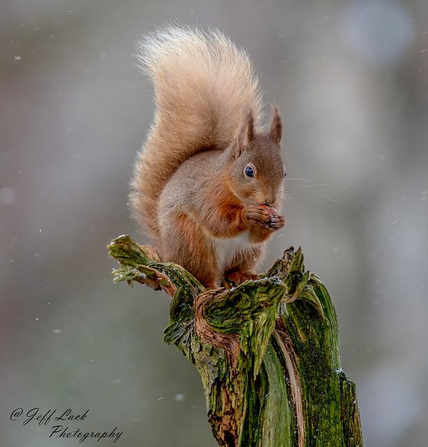 DSC0455  Red Squirrel..