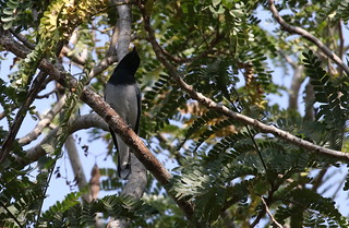Black-headed Cuckooshrike - Coracina melanoptera | by Engilis Photos
