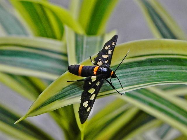 Nine-spotted Moth !!