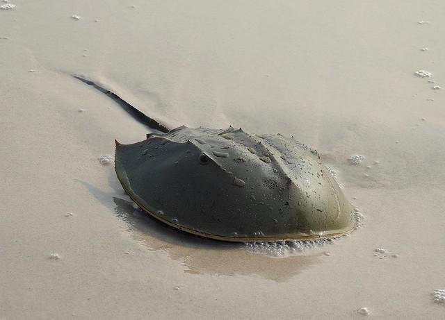 Indo-Pacific Horseshoe Crap On Suan Son Beach - Peninsula Thailand