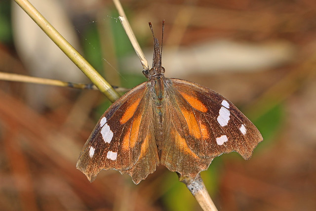 American Snout - Libytheana carinenta, C. F. Phelps Wildlife Management Area, Sumerduck, Virginia