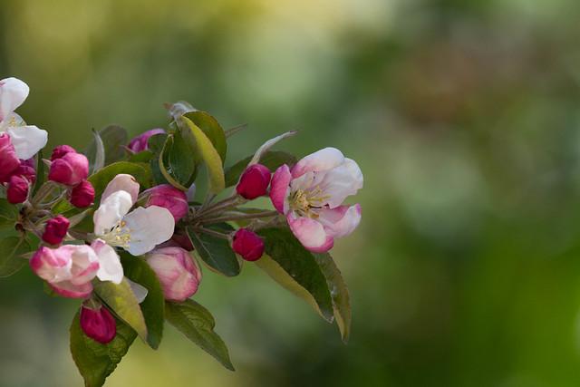Pommier d'ornement - Crabapple tree
