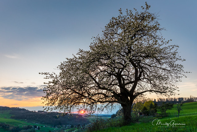 Pear tree abobe the vinyard on a spring sunset