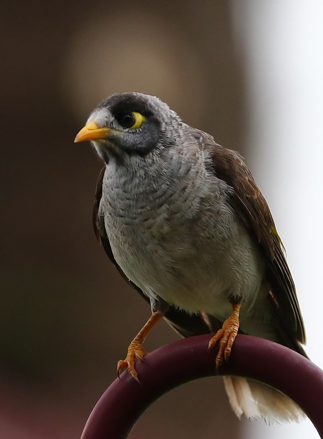 Noisy Miner -Manorina melanocephala-Trial Bay-241018 (3)