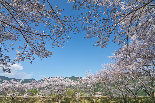 Season of cherry blossoms | by peaceful-jp-scenery