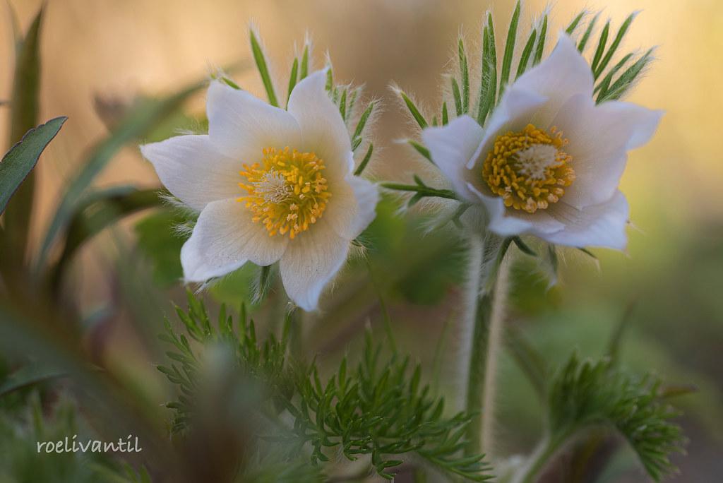 Wildemanskruid / Common pasqueflower