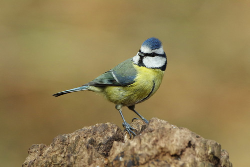 cyanistescaeruleus lackfordlakes suffolk bird bluetit nature wild wildlife woodland