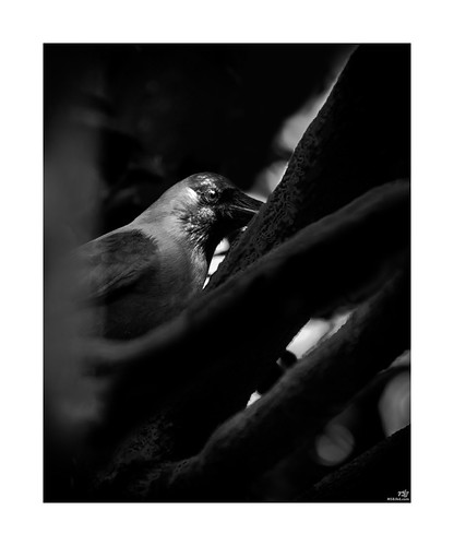 bnw monochrome blackandwhite bw blackandwhitephotography photography bnwphotography streetphotography photooftheday art monochromatic ig monochromephotography blackandwhitephoto bnwmood instablackandwhite birds birdphotography nature birdsofinstagram wildlife birdwatching birdlovers bestbirdshots nikon birdstagram natgeo msbjbd bangladesh kushtia 70300 crow natgeowild bbcearth discovery village urban animalplanet coth5