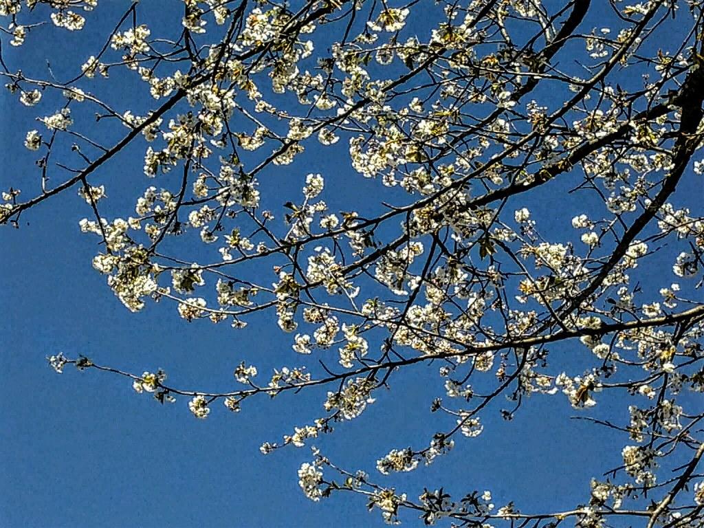 Anche il cielo fiorisce a primavera 🌸