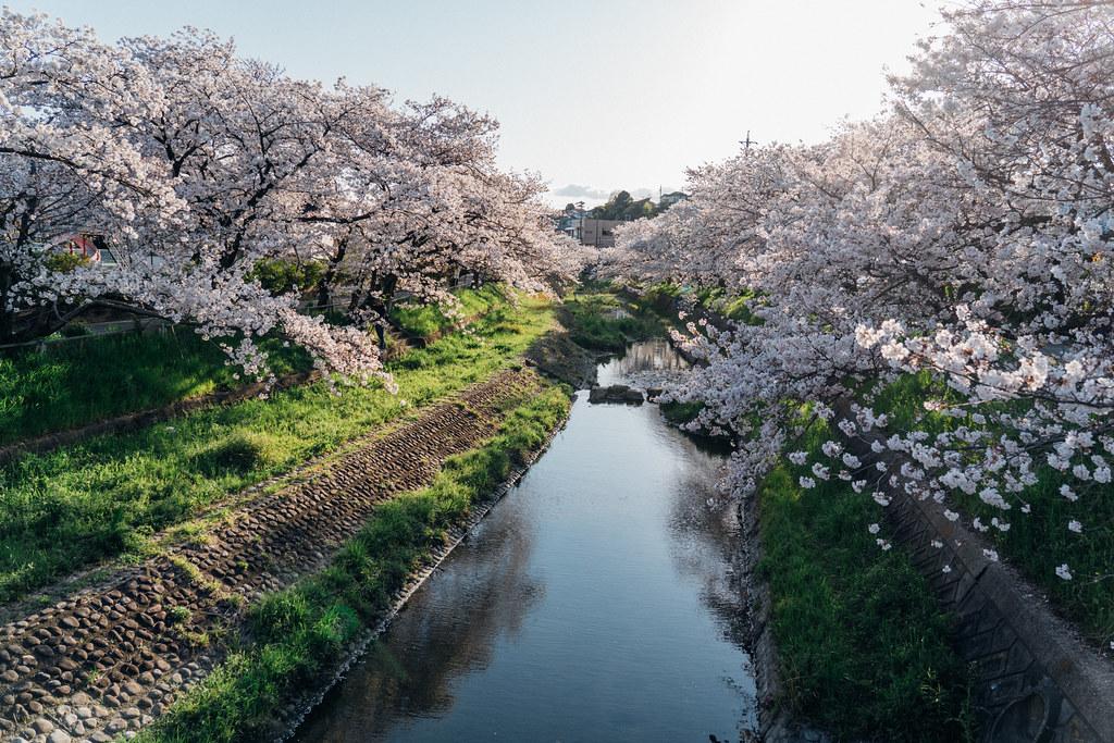 CherryBlossoms6_99