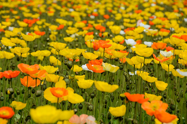 A sea of poppies